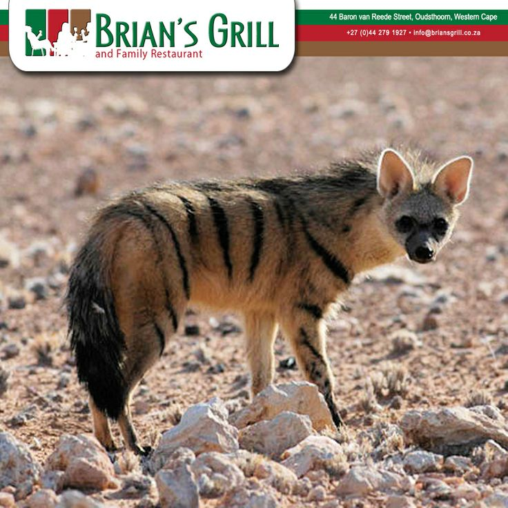 The aardwolf is a small, insectivorous mammal, native to East Africa and Southern Africa. The aardwolf is in the same family as the hyenas. Unlike many of its relatives in the order Carnivora, the aardwolf does not hunt large animals, or even eat meat on a regular basis; instead it eats insects, mainly termites – one aardwolf can eat about 250,000 termites during a single night by using its long, sticky tongue to capture them. #Oudtshoorn #Aardwolf