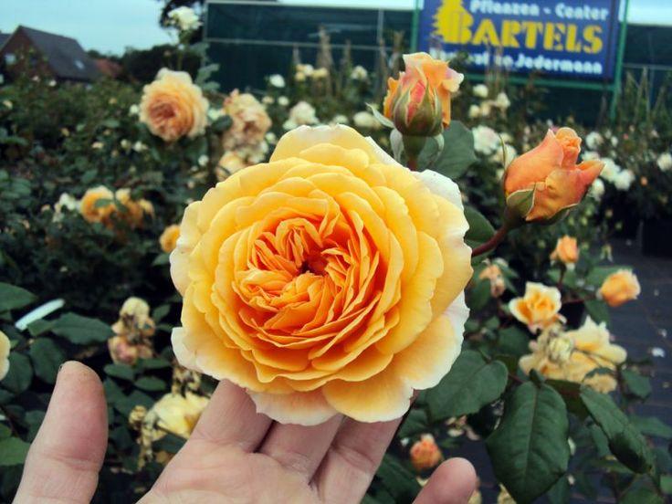 Englische Rose Crown Princess Margareta ® Auswinter ® Züchter David Austin 1999