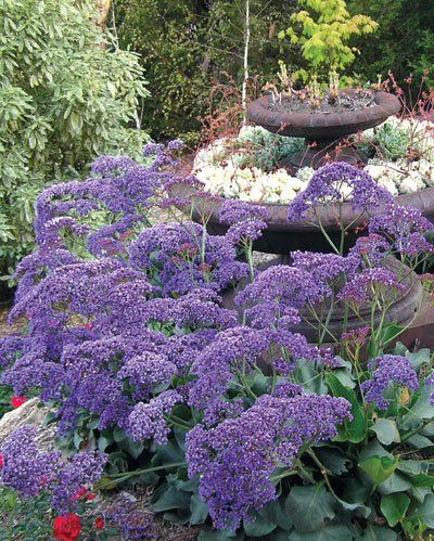 Sea Lavender (Limonium 'Perezii Blue') is an evergreen perennial Sea Lavender prefers to grow in a sunny position, in well-drained, sandy soil. Its tolerance to sea spray and low rainfall make it an excellent choice for seaside and low-maintenance gardens, rockeries and perennial borders.
