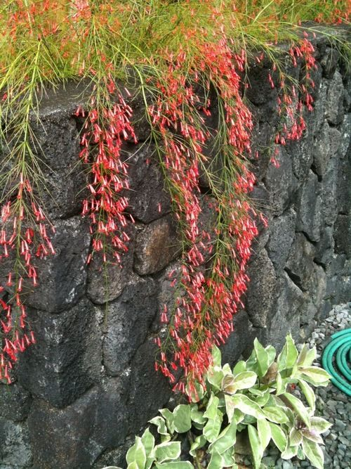 Russelia equisetiformis. Firecracker plant. Great for hanging over retaining walls. Up to 5 feet tall. Tolerates shade.