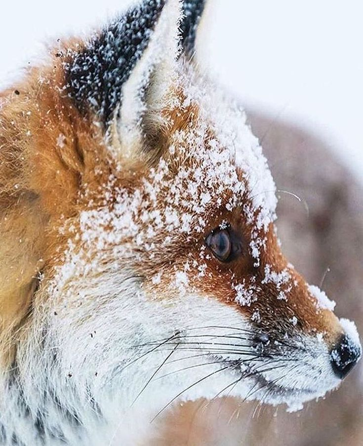 "1,000 Likes, 4 Comments - Animals - Wildlife (@wildlifeowners) on Instagram: ""Snowy By ©Mel Weber #wildlifeowners"""