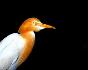Cattle egret by Prasanna Bhat - in the dark Click on the image to enlarge.