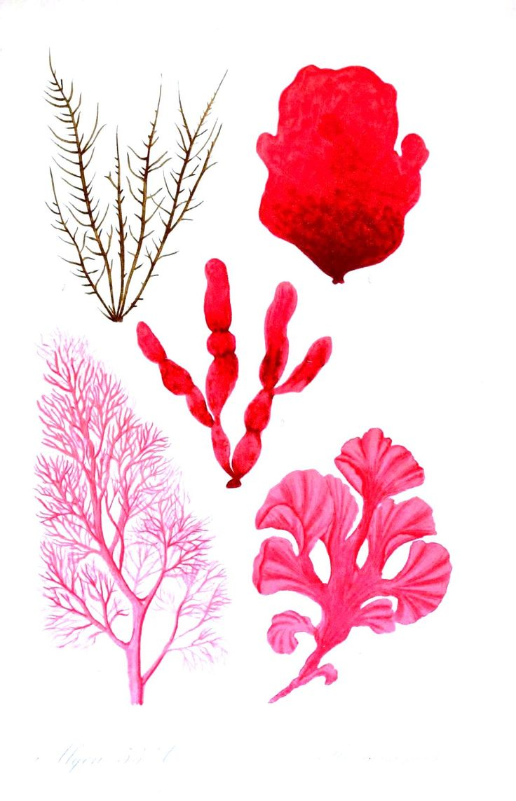 Red coral painting popular red coral print buy cheap red coral print - For Crewel Design Botanical Algae 21