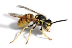 How to Kill Wasps: Effective Methods for Warding Off Wasps - Maybe you recently had a picnic in your backyard that was plagued with wasps. Maybe you are noticing more wasps than usual around your house. Maybe you've even been stung by a wasp! If you've found your way to this site, you probably have a wasp problem. By reading on, you will learn the indications of wasps, the reasons to get rid of them, and the methods of how to kill wasps.