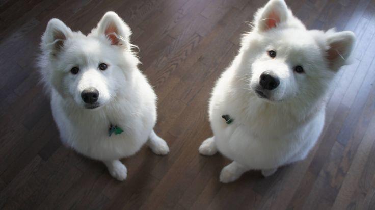 samoyed dog photo | Two Samoyed dogs photo and wallpaper. Beautiful Two Samoyed dogs ...