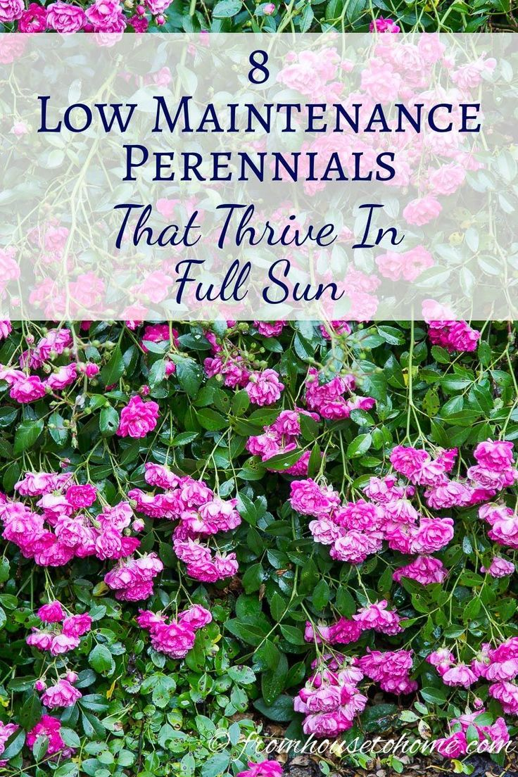 Full Sun Perennials: 8 Low Maintenance Plants That Thrive In The Sun | These low maintenance perennials all have pretty flowers and will brighten up your full sun garden border. Even better...they don't require a lot of work to make your landscaping look beautiful. #modernyardflowerbeds