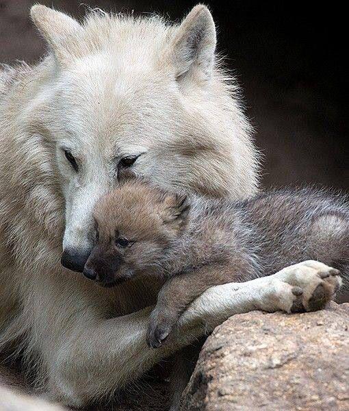 Lobo do Ártico e seu filhote
