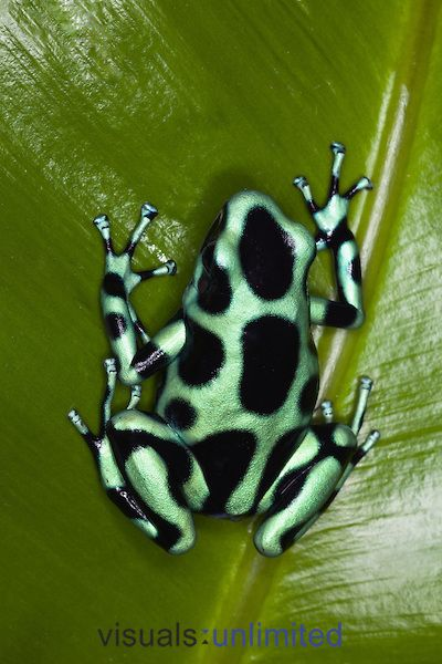 Green and Black Poison Dart Frog (Dendrobates auratus), Costa Rica.