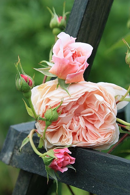 """""""William Morris"""" by David Austen roses ~ extremely hardy, reliable, good disease-resistance; strong fragrance with elements of tea and fruit; good repeat-flowering, especially for a shrub of its size."""