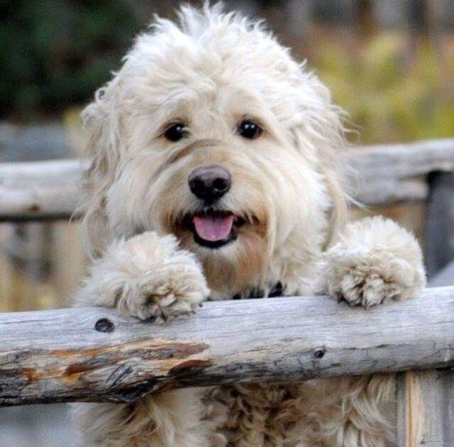 English goldendoodle. So fluffy!! d o o d l e s