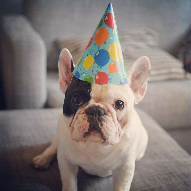 manny the frenchie birthday hat critters pinterest birthday hats hats and birthdays. Black Bedroom Furniture Sets. Home Design Ideas