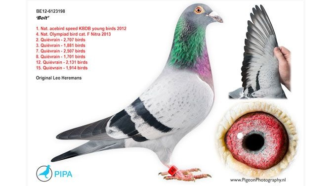 Bolt, Belgian racing pigeon sold for € 310.000 ($400,000) to China