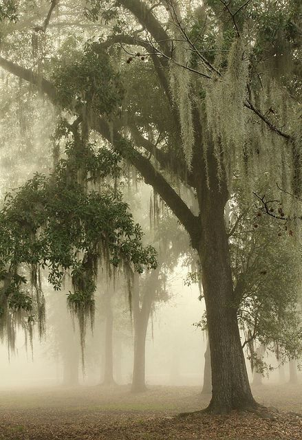 Spanish moss trees in New Orleans. #Nature