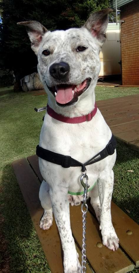 Gerald ~ 3 year old male Heeler X Staffy ~ adopted 30.5.2017 & returned
