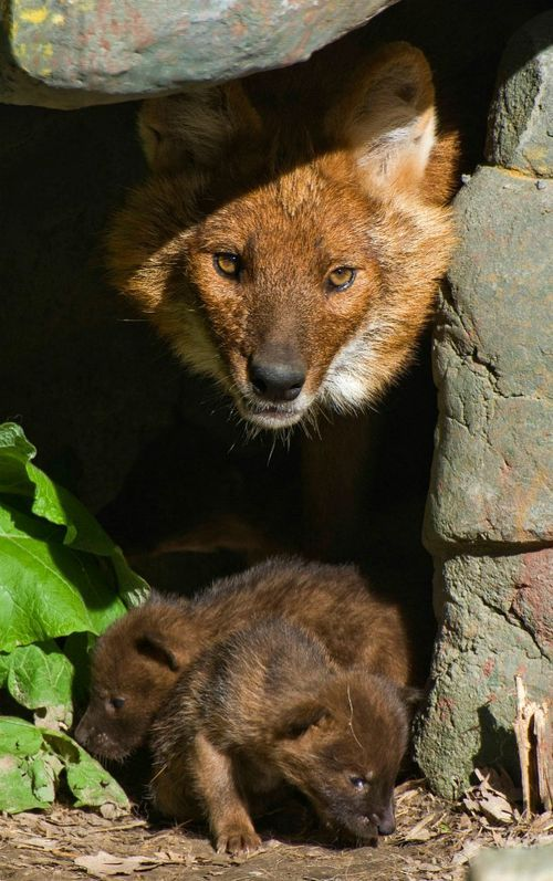Also known as Asian wild dogs, Dholes are a primitive canine species that reside in highly structured social packs. Highly adaptable, they live in diverse habitats in Thailand, Russia, China, and India in areas with plenty of prey, water and suitable den sites. Exclusive carnivores, the Dhole's diet consists of mostly small to medium-sized deer and wild boar. They den in abandoned burrows and have litters of up to 12 pups. All members of the pack care for the litter