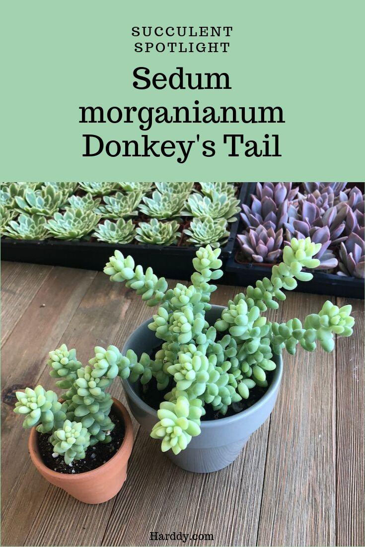 Sedum Donkeys Tail Sedum, Hanging succulents, Succulents