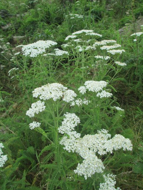Yarrow   Wild Foods & Medicines. Heal wounds fast! Made my cat a warm compress of this for an eye infection and when I checked her out the next day, it looked like she never had been hurt. Truly amazing and I will always have it on hand in my garden. - Kristi