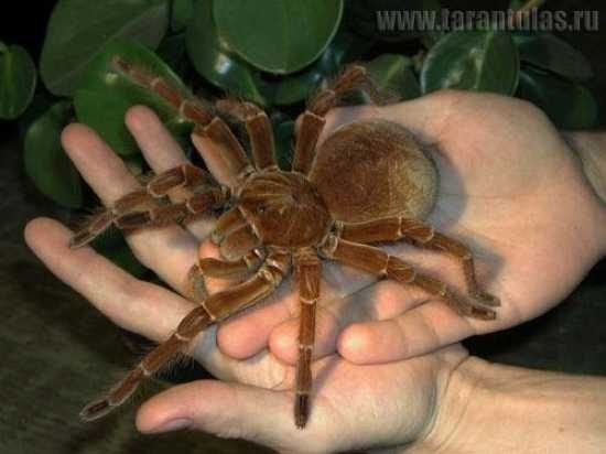 The goliath bird-eater is the heaviest spider known, with the largest weighing up to 180g. Their 12inch legspan made them the largest spider known until, in 2008, a giant huntsman spider was discovered in Laos. The goliath, Theraphosa blondi, is far more common however and is even kept as an exotic pet. It is known as bird-eater because, like other large spiders, it will sometimes prey on small birds as well as small mammals and lizards