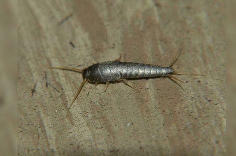Ne kadar hijyenik olursa olsun her evde böcekler bulunur. İşte böceklerden doğal yollarla kurtulma rehberi...