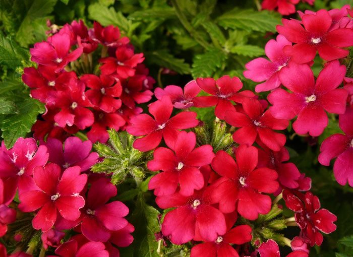 133 best Verbena images on Pinterest | Verbena, Container ...