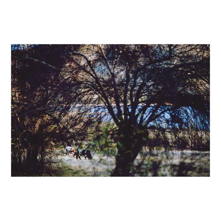 Ruido y silencio _ Noise and silence imarchi      #tree #domesticanimals #cows #vacas #mammal #animals #branches #focusonbackground #backgroundphotography #growth #nature #roadtrip #day #outdoors #beautyinnature #Stress #Tranquility #tranquilscene #scenics #navacerrada #Madrid #blurred #blurredforeground #igersmadrid #ig_madrid #instamadrid #spain #españa #picoftheday #photooftheday   Imarchi photography  Also in Instagram here: http://ift.tt/2zoudiW photographers on tumblr original…