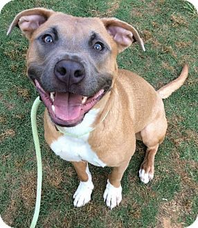 Pictures of Mio a Pit Bull Terrier Mix for adoption in Dallas, GA who needs a loving home.
