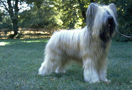 #Briard: Is happiest leading a busy, active life. This breed is an independent thinker, so patience is necessary when training.  This breed's coat needs brushing every day to prevent mats.