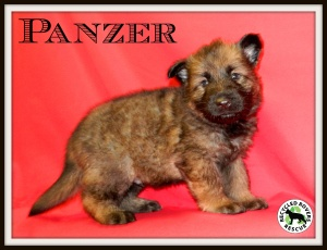Panzer - 6 week old Purebred German Shepherd Pup is an adoptable German Shepherd Dog Dog in Springdale, AR. ADOPTION INFORMATION................. Panzer and his sisters, Marielle and Leisel, were resc...