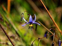 Dianella revoluta Black Anther Flax-Lily