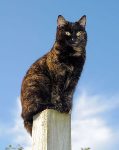 This is Sweetie our Tortoise Shell Moggie - she is a wee darling