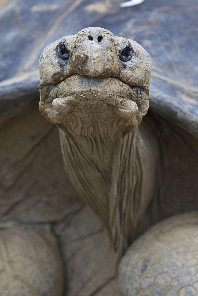 Speedy the Galapagos Tortoise Photo bySan Diego Zoo