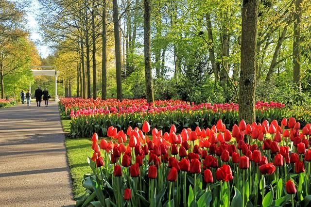 Everything You Need to Know about Amsterdam's Tulip Season: Where Are the Bulb and Tulip Fields?