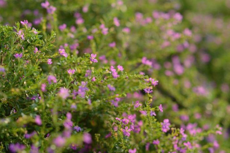 plantas bordaduras jardimano todo, sendo uma planta de baixa