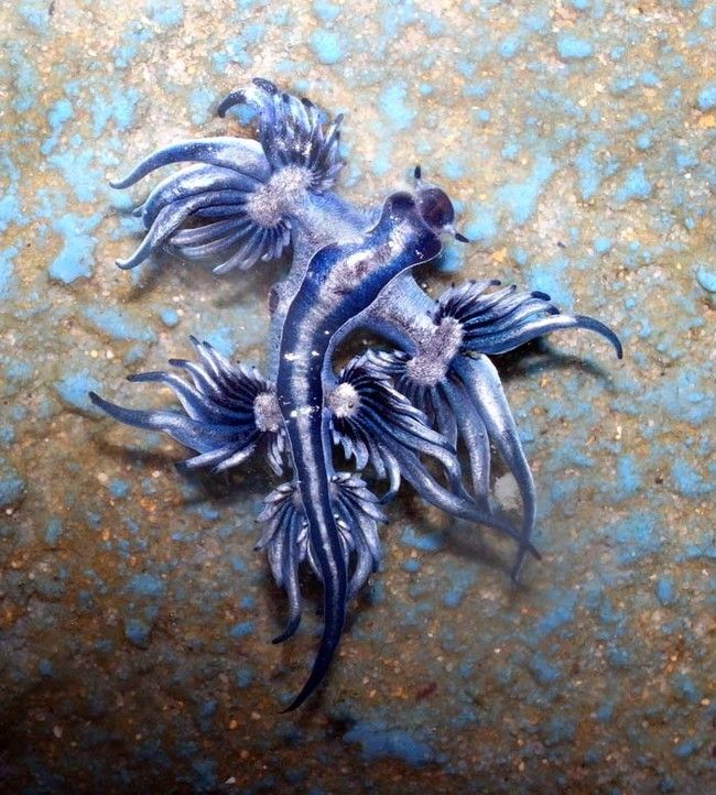 the blue dragon glaucus atlanticus