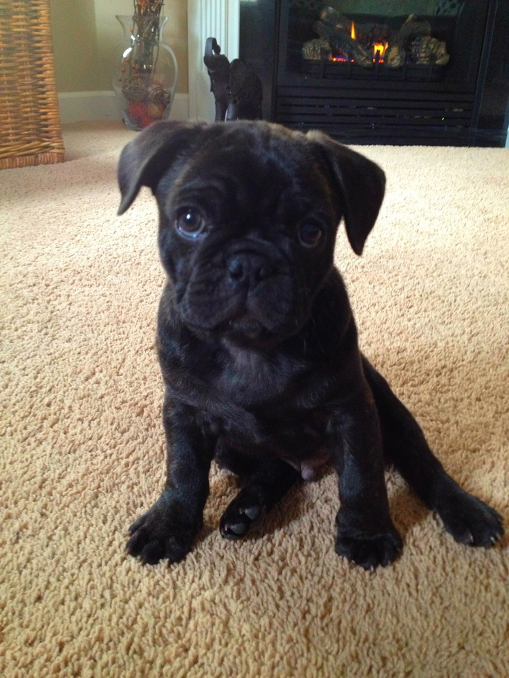 Pug, Frenchie pug and Pug mix on Pinterest