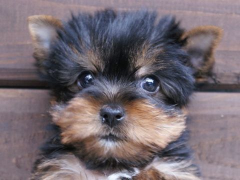 Yorkshire Terrier Puppy the only little dogs I like