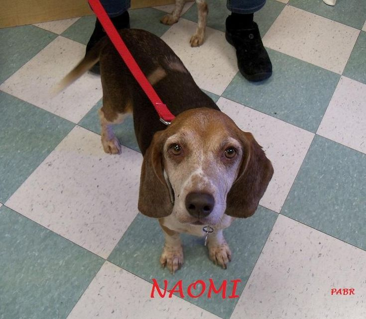 Meet NAOMI, an adoptable Beagle looking for a forever home. If you're looking for a new pet to adopt or want information on how to get involved with adoptable pets, Petfinder.com is a great resource.
