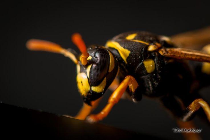 Wasp by Eric Deschênes