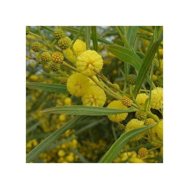 Mimosa des 4 saisons - Plantes et Jardins
