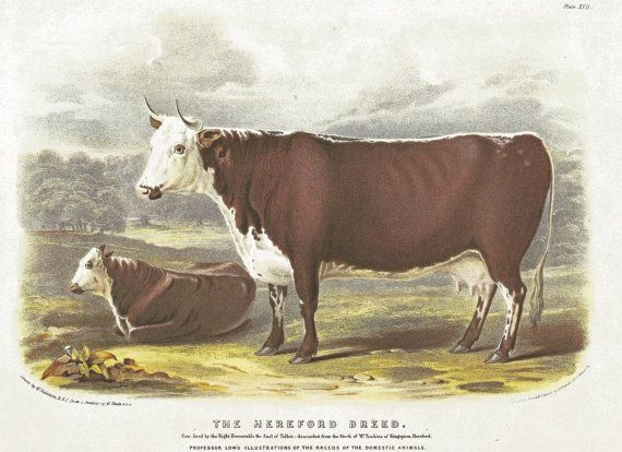 177 best bovins antiques images on pinterest cow cattle - Fumier de vache a vendre ...