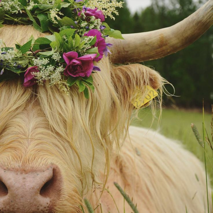 17 Best Images About Highland Cattle On Pinterest
