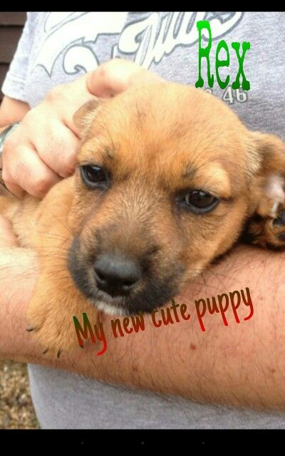 This is Rex! He is my new puppy. He is a Norjack ( Norfolk terrier cross with Jack Russell ) .
