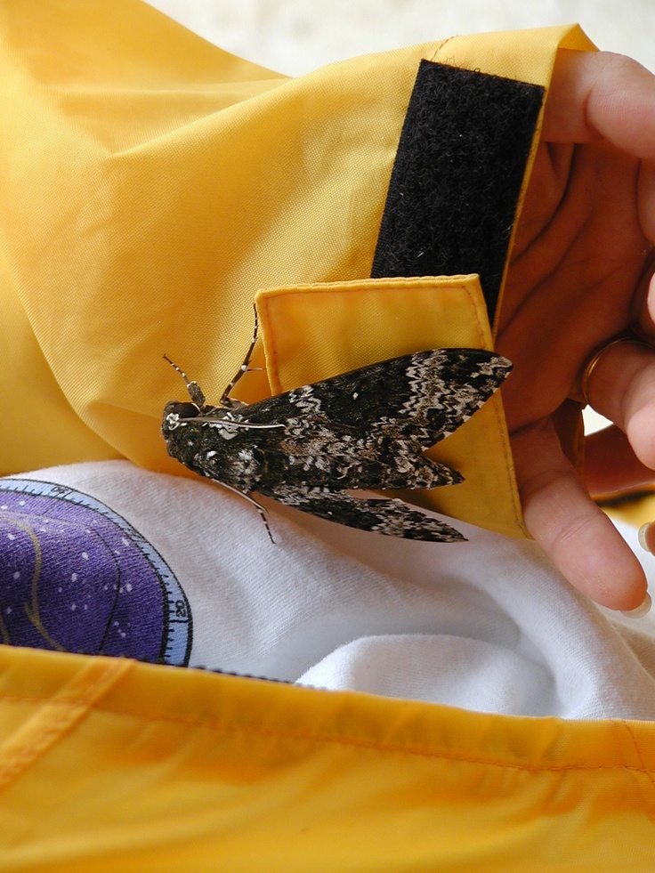 large Central American moth on yellow slicker