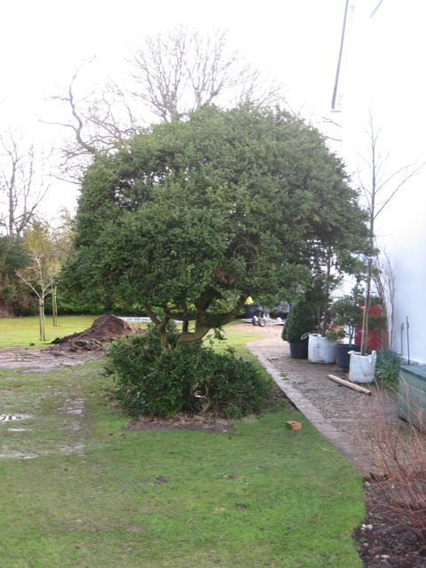 Multi-stemmed tree lost in foliage before the creative maintenance team from Architectural Plants arrived