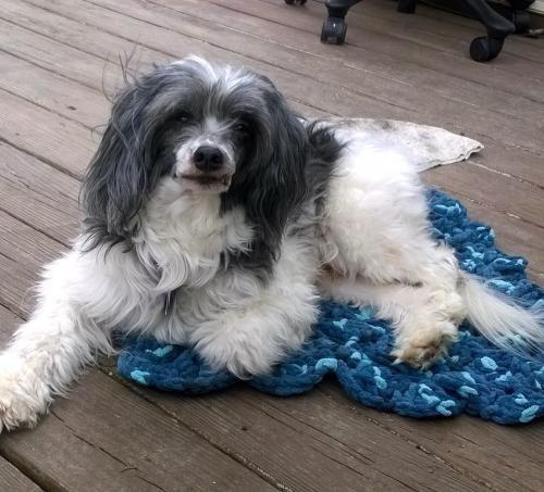 Meet Jedi, a Petfinder adoptable Chinese Crested Dog Dog in Dover, DE | Petfinder.com