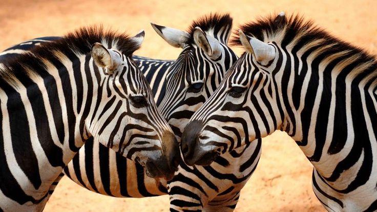 Zebra, couple, cute animals