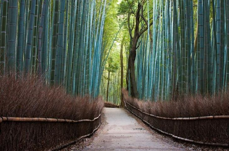 The Sagano Bamboo Forrest in Kyoto, Japan