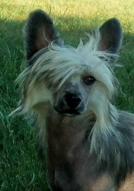 61 Best Images About Chinese Crested On Pinterest Mini