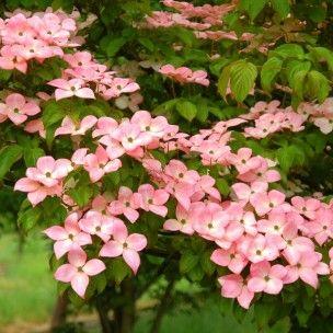 Le Cornouiller du Japon 'Satomi' (Cornus kousa) est un arbuste d'ornement d'allure élégante qui produit un feuillage rouge écarlate en automne, ainsi qu'une floraison printanière impressionnante. En septembre, ses fruits charnus, rouges ressemblant à des fraises sont également très décoratifs.