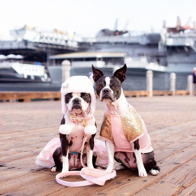 Going To The Captain S Ball Bostonterrier Puppy